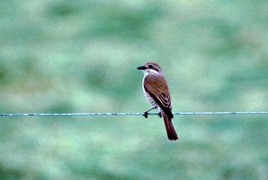 Grauwe klauwier Lanius collurio (juv man). Regelmatige broedvogel in dit gebied. Foto gemaakt door Karel Mauer.