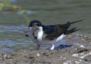 Huiszwaluw Delichon Urbica verzamelt nestmateriaal bij een modderpoel. Foto gemaakt door Karel Mauer, Houtribsluizen.